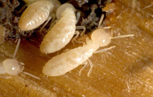 اضرار النمل الابيض